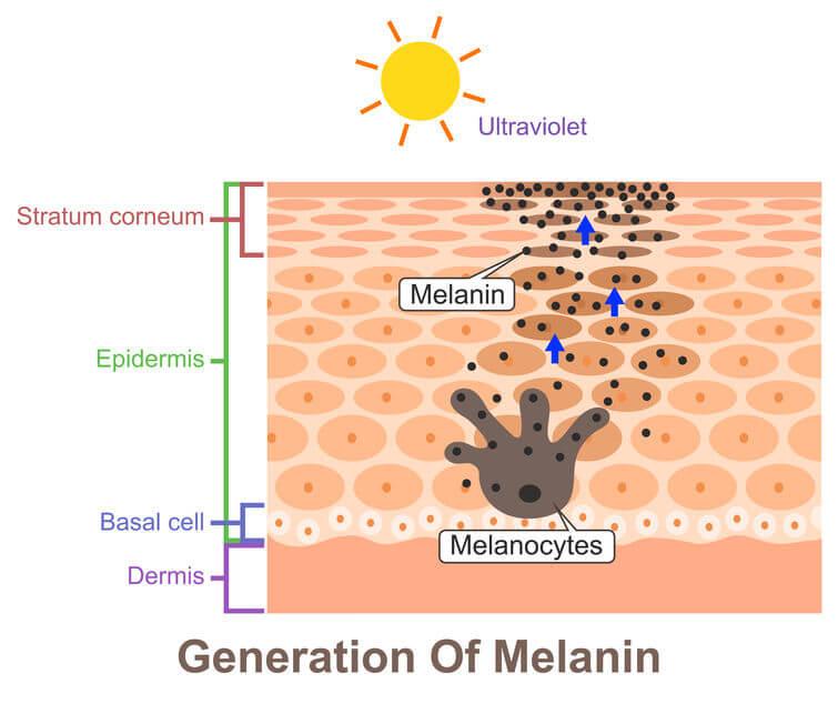 黑色素細胞分布在皮膚的表皮層,功用就是製造黑色素